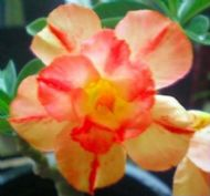 Adenium Obesum 'Orange Star' 5 Seeds